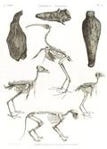 A Vol. II — Thèbes. Hypogées — Pl. 54 - Momies d'oiseaux et squelettes de momies