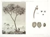 HN Botanique — Palmier doum — Pl. 1 - 1. Vue du palmier de la Thebaïde appelé Doum 2.3.4.5.6 Détails de la fructification