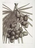 HN Botanique — Palmier doum — Pl. 2 - Détails de la feuille et de la grappe