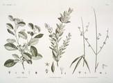 HN Botanique — Pl. 20 - 1. Cordia crenata 2. cynanchum / argel 3. cynanchum pyrotechnicum