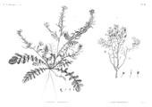 HN Botanique — Pl. 36 - 1. Raphanus recurvatus 2. Cleome Droserifolia