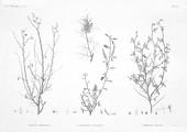 HN Botanique — Pl. 37 - 1. Spartium thebaicum 2.2' Indigofera paucifolia 3. Psoralea plicata