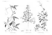 HN Botanique — Pl. 38 - 1. Dolichos nilotica 2. Trigonella anguina 3. Dolichos memnonia