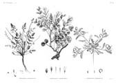 HN Botanique — Pl. 39 - 1. Hedysarum ptolemaicum 2. Astragalus longiflorus 3. Astragalus mareoticus