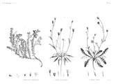 HN Botanique — Pl. 40 - 1. Dorycnium argenteum 2. Picris sulphurea 3. Picris lyrata