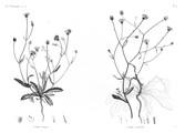 HN Botanique — Pl. 41 - 1. Picris pilosa 2. Picris altissima