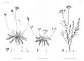 HN Botanique — Pl. 42 - 1. Crepis hispidula 2. Crepis senecioides 3. Santolina fragrantissima