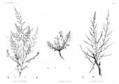 HN Botanique — Pl. 43 - 1. Artemisia Monosperma 2. Artemisia inculta 3. Ardemisia judaica