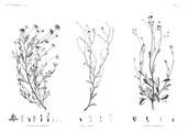 HN Botanique — Pl. 45 - 1. Anthemis melampodina 2. Inula crispa 3. Senecio belbeysius