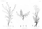 HN Botanique — Pl. 46 - 1. Inula undulata 2. Chrysocoma candicans 3. Chrysocoma spinosa