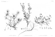 HN Botanique — Pl. 48 - 1. Carthamus mareoticus 2.2' Buphthalmum pratense 3. Anacyclus alexandrinus