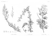 HN Botanique — Pl. 52 - 1.1' Atriplex coriacea 2. Acacia seyal 3. Acacia albida