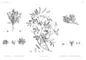 HN Botanique — Pl. 53 - 1. Adonis dentata 2.3.4. Parnelia maciformis 5. Galega apollinea 6. Zostera bullata 7. Gymnostomum niloticum