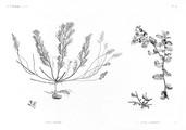HN Botanique — Pl. 54 - 1. Fucus trinodis 2.2' Fucus latifolius