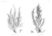 HN Botanique — Pl. 55 - 1. Fucus antennulatus 2. Fucus denticulatus