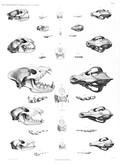 HN Mammifères (supplément) — Pl. 1 - Carnassiers