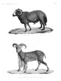 HN Mammifères — Pl. 7 - 1. Bélier à large queue 2. Mouflon à manchettes
