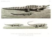 HN Reptiles — Pl. 2 - 1. Crocodile vulgaire 1'. Crocodile vulgaire jeune 2. Stellion spinipède. 3. Stellion des anciens 1. cinquième de la grandeur 2. moitié de la grandeur 3. grandeur naturelle