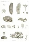 HN Zoologie. Algues — Pl. 1