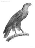 HN Zoologie oiseaux — Pl. 1