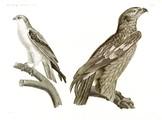 HN Zoologie Oiseaux — Pl 2