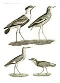HN Zoologie Oiseaux — Pl 6