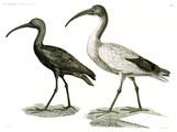 HN Zoologie Oiseaux — Pl 7