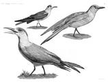 HN Zoologie Oiseaux — Pl 9