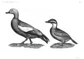 HN Zoologie Oiseaux — Pl 10