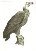 HN Zoologie Oiseaux — Pl. 11