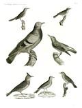 HN Zoologie Oiseaux — Pl 13