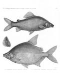 HN Zoologie. Poissons du Nil — Pl. 5 - 1. Le characin nefasch. Characinus nefasch 2.3. Le serrasalme citharine. Serrasalmus citharus.