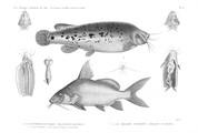 HN Zoologie. Poissons du Nil — Pl. 12 - 1. Le malapterure électrique. Malapterus electricus 2. Ses viscères abdominaux 3. Tronc et appareils éléctriques 4. Vessie natatoire 5.6. Le pimelode synodonte. Pimelodus synodontis