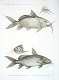HN Zoologie Poissons du Nil — Pl. 13 - 1.2. Le Pimelode guemel. pimelodus membranaceus 3.4. Le pimelode scheilan. pimelodus clarias