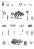 HN Zoologie. Polypes — Pl. 1 - Actinies. Polypes tubifères.