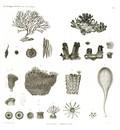 HN Zoologie. Polypes — Pl. 3 - Polypes corticaux