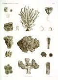 HN Zoologie. Polypes — Pl. 4 - Madrépores