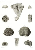 HN Zoologie. Polypes — Pl. 5 - Madrépores