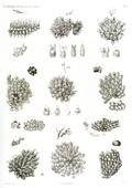 HN Zoologie. Polypes — Pl. 7 - Flustres