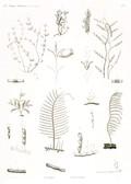 HN Zoologie. Polypes — Pl. 14 - Dyasmées Plumulaires