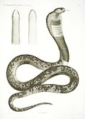 HN Zoologie Reptiles (supplpment) — Pl. 3