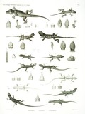 HN Zoologie Reptiles (supplpment) — Pl. 1