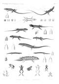 HN Zoologie. Reptiles (supplément) — Pl. 2 - Lézards. Scinques. Grenouilles.